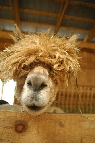 Afro the Alpaca