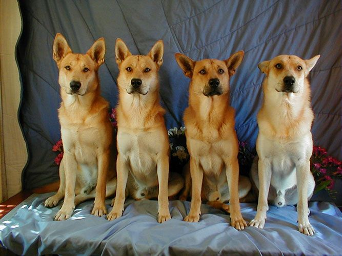 """Also known as the """"American Dingo,"""" Carolina Dogs are thought to be the oldest canine species in North America, appearing on rock paintings by Native Americans. The Carolina Dogs share DNA with the Australian Dingoes and New Guinea Singing Dogs and even though the breed has been domesticated, there are still wild pups still roaming around."""