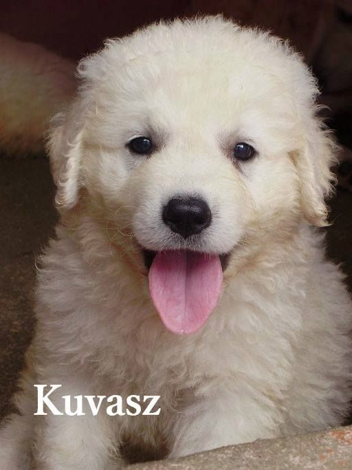 Kuvasz (pictured: a puppy) - This Hungarian breed was historically used as a royal guard dog. Highly independent (and therefore hard to train), this dog's name most likely comes from the Turkish word for protector. The breed appears in the film 'Homeward Bound II: Lost in San Francisco' as the pup Delilah.