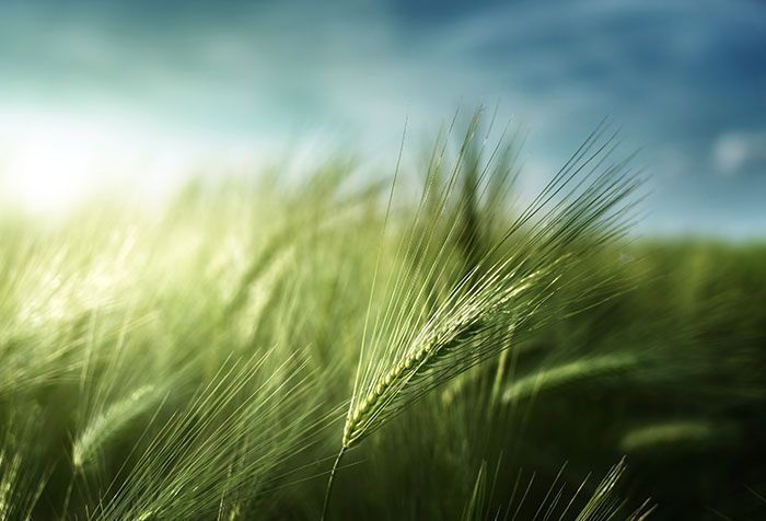 Shop For Barley Field Wallpapers In Nature Landscapes Theme Custom Printed To Fit