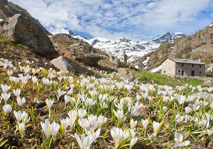 A Malghera in Valgrosina in #Valtellina una spendida fioritura!