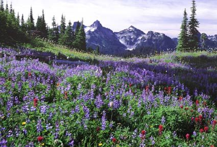 "Mt. Rainier National Park, Washington State, U.S.A. (Paradise meadows)  Paradise is famous for its glorious views and wildflower meadows. When James Longmire's daughter-in-law, Martha, first saw this site, she exclaimed, ""Oh, what a paradise!"" The park's main visitor center, the new Paradise Jackson Visitor Center, is located in the upper parking area. Paradise is also the prime winter-use area in the park, receiving on average 641 inches (53.4 feet/16.3 meters) of snow a year. Winter…"