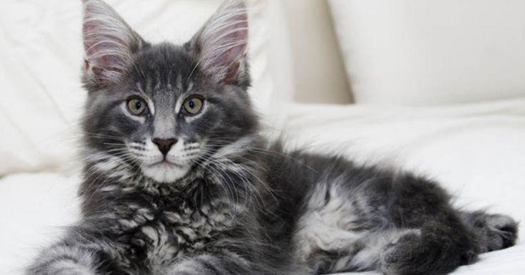 Le Maine Coon est considéré comme l'un des plus beaux chats grâce à son incroyablepelage touffu. Mais le connaissez-vous bien sous toutes ses formes ? Découvrez le dans ce diaporama qui va vous faire craquer.