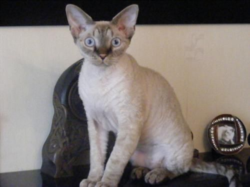 17 Best Images About Devons On Pinterest Cornish Rex
