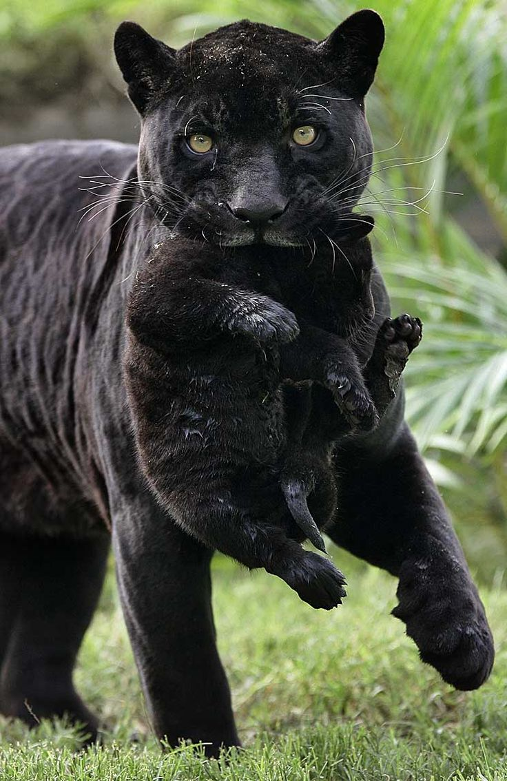 Black Panther, mom and baby. Piercing eyes to warn as she carries and protects her baby.  Beware!.