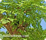 The many health benefits of Moringa oleifera