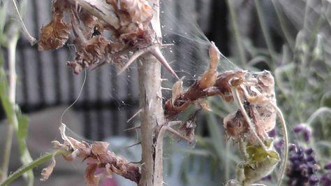 Spinnmilben an Zimmerpflanzen bekämpfen: mit Glasreiniger