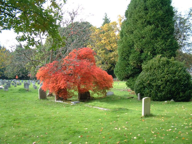 The Acer in the Lower Graveyard in autumn.