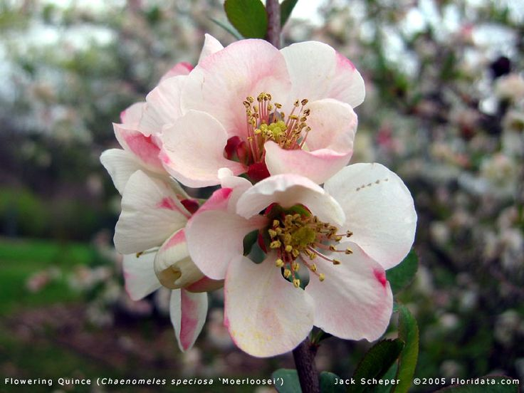 Thorny /branchy Japanese quince,   flowering quince,  from the  Floridata Plant Encyclopedia. Flowers early spring