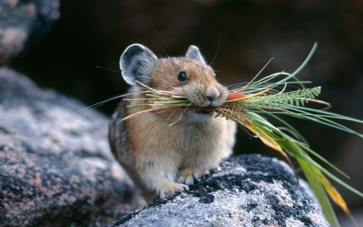 Cute little Pika mouse http://ift.tt/2drdRy0