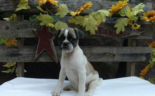 Litter of 7 Jug puppies for sale in STEVENS, PA. ADN-35020 on PuppyFinder.com Gender: Male. Age: 8 Weeks Old