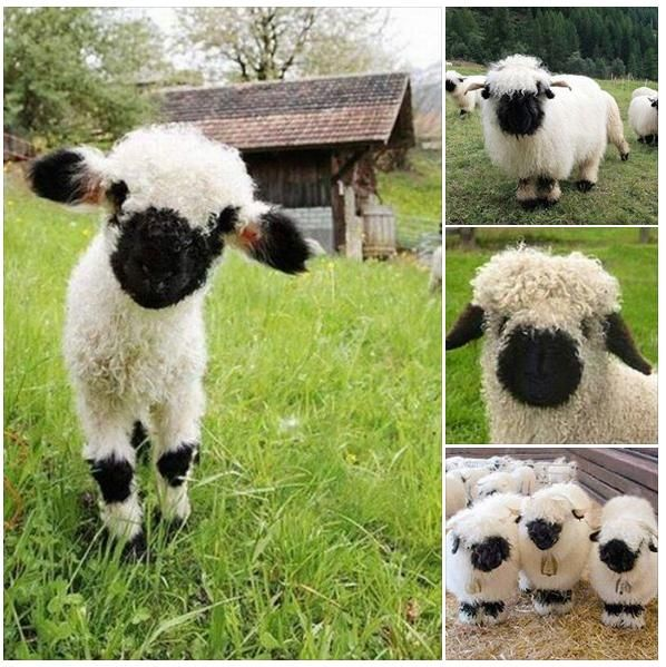 Valais Blacknose sheep.