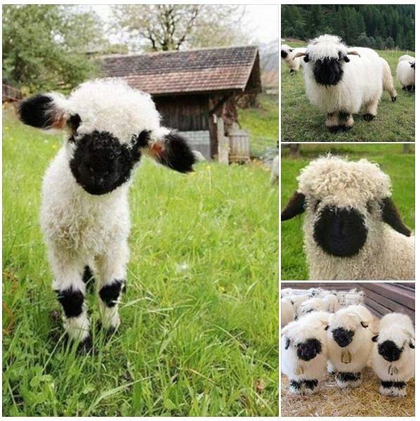 Valais Blacknose sheep.