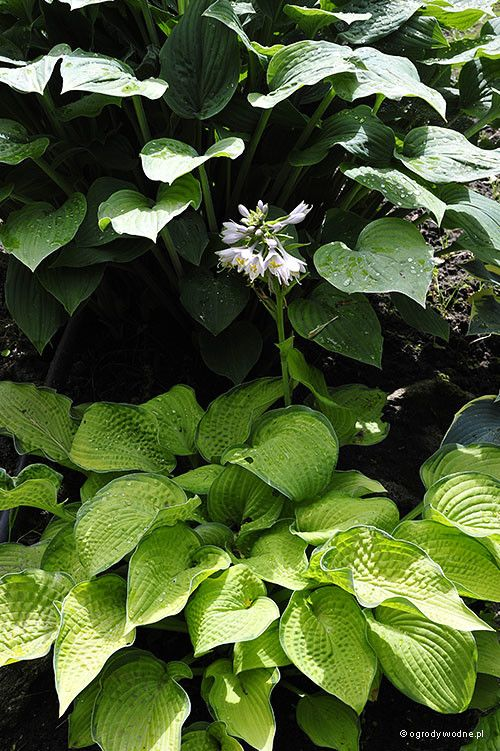 Hosta 'Inniswood' - Funkia