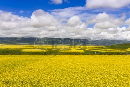 16424539-beautiful-oilseed-rape-field-under-clear-sky-qinghai-province-the-west-region-of-china.jpg (450×300)
