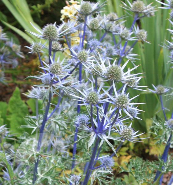 Eryngium bourgatii: wonderful silvery-blue bracts in August and September 45cm ht.  Fades to sand in autumn, after which it looks great picked out in frost or snow.
