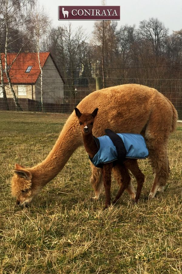 """""""Mom is teaching me what to eat to be healthy!  I love my alpaca mom!! <3 <3"""" baby alpaca"""