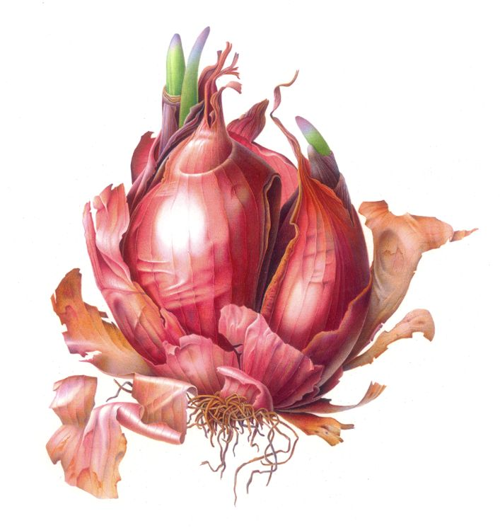 Red Onion on Vellum