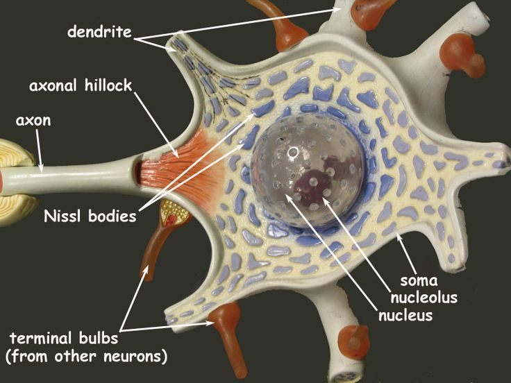 Neuron Model | Neuron | Biology | Pinterest