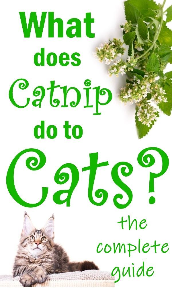 What Is Catnip And Why Do Cats Love It Catnip Plant Catnip Cat Love