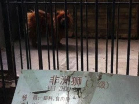 Tibetan Mastiff Passed Off as Lion in Chinese Zoo, Gives Away Ruse By Barking
