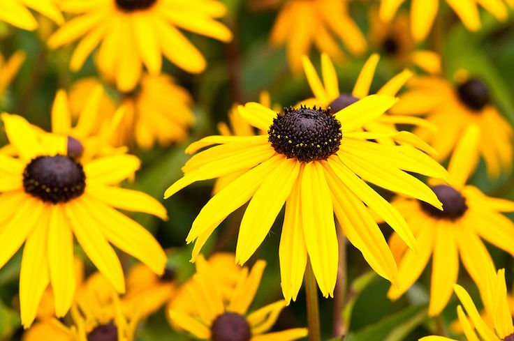 Rudbeckia. Cut back to near ground level during November, protect the crown with a layer of dry leaves or chipped bark.
