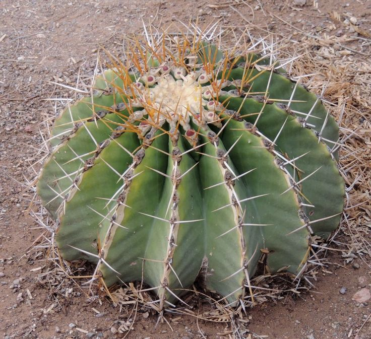 3875 best images about cactus y suculentas on pinterest for Feroxcactus chile