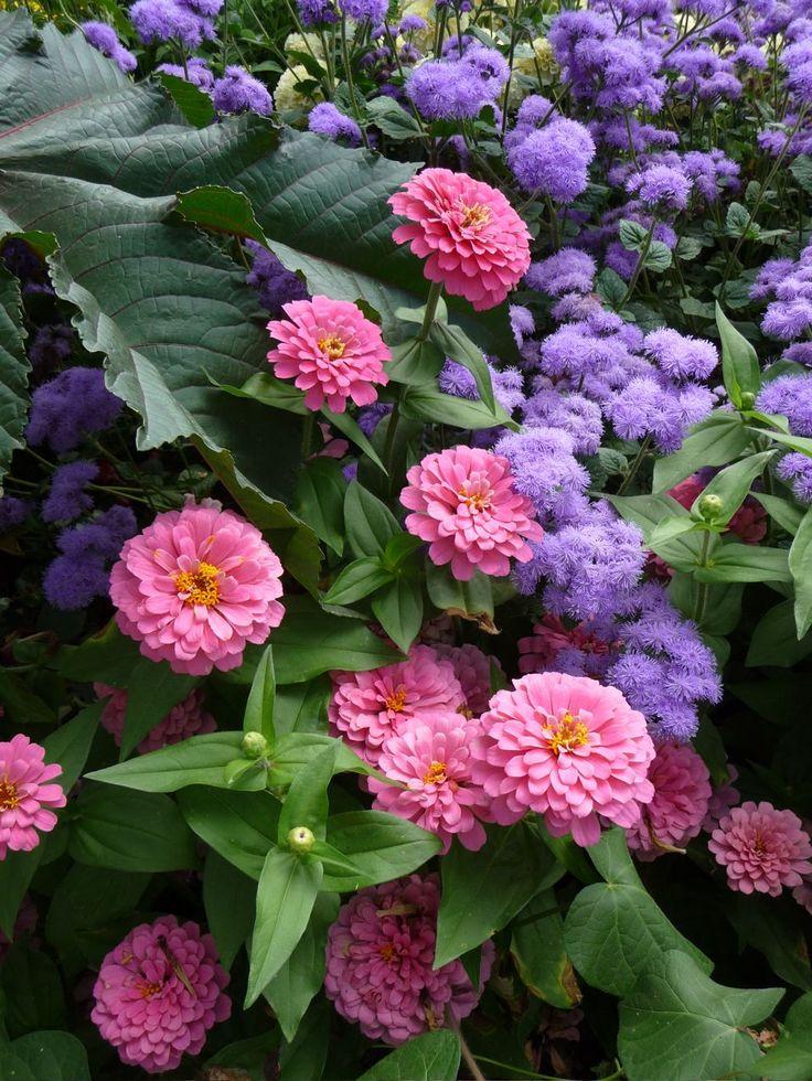 Zinnia rose (Zinnia elegans F1 Magellan rose) et agératum bleu (Ageratum F1 Horizon Bleu), Jardin Express (Bouvincourt, 80), photo Delavie Alain