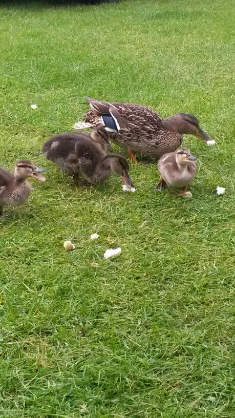 Breakfast with the ducks