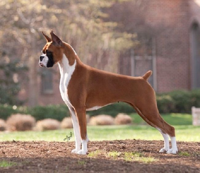 Show Me A Picture Of A Boxer Dog