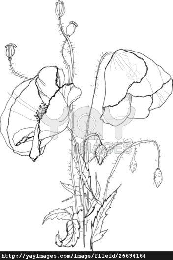 poppies drawing - Google Search