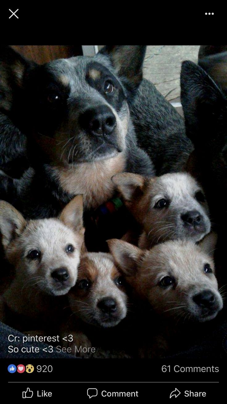 Pin By Dog Lover On Blue Heeler Aussie Cattle Dog Australian Cattle Dog Cute Dogs Breeds