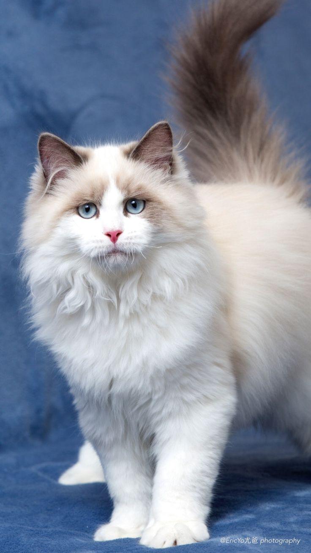 Ragdoll Cat Cute cats, Beautiful cats, Cute cats, kittens