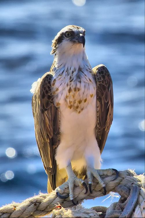 Female Osprey (Pandion haliaetus)