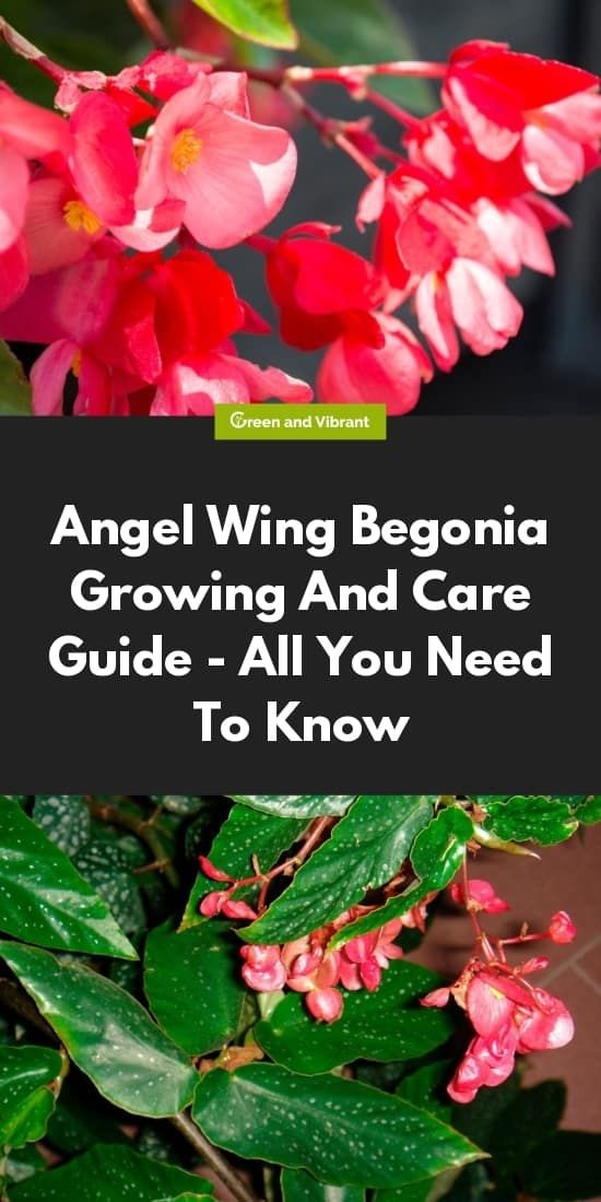 Angel Wing Begonia Growing And Care Guide All You Need To Know Begonia Angel Wings Flower Angel Plant