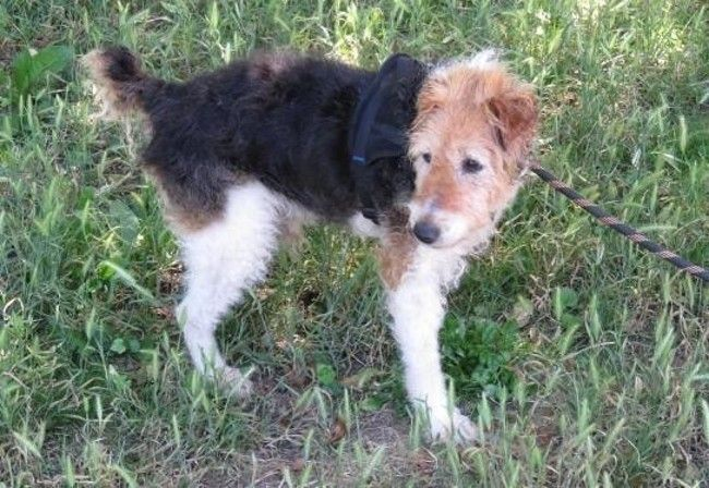 Milou Chien Croise Fox Terrier Poil Dur A Adopter Chien Chien A Donner Adopter Un Chiot