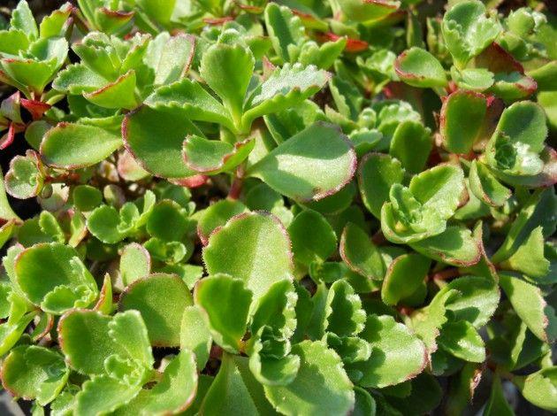 Sedum spurium 'Ruby Mantle'