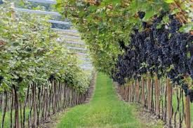 Grapes in monferrato vineyards