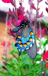 ❦  A butterfly sipping nectar from a texas wildflower