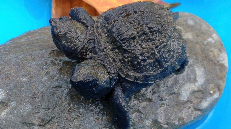 A twoheaded snapping turtle sits on a rock in Hudson
