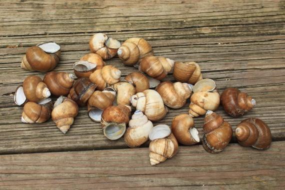 25 Fresh Water Snail Shells