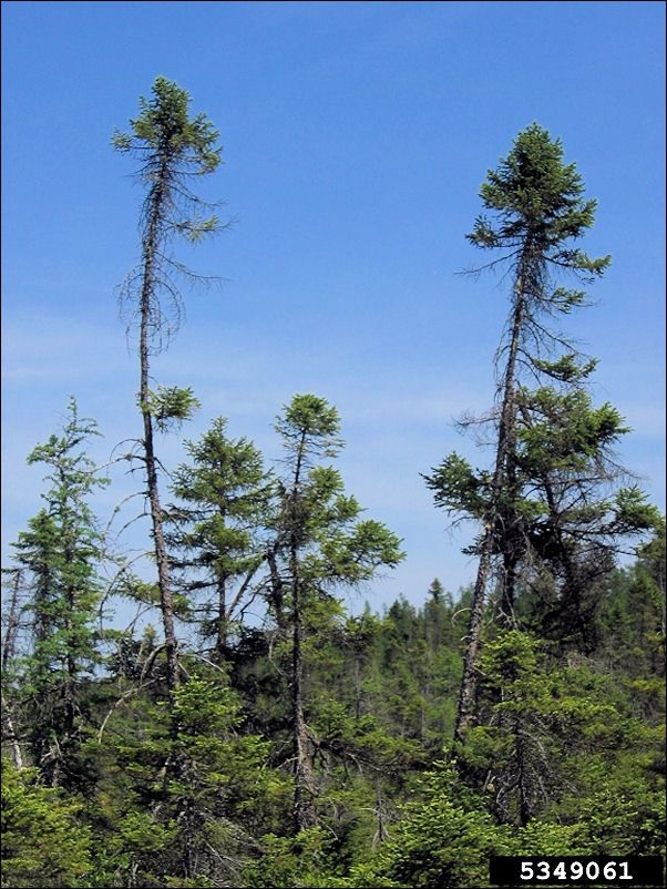 ISU Forestry Extension - Tree Identification: Black Spruce (Picea ...