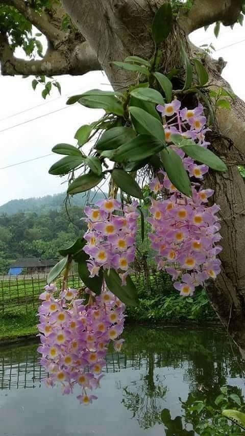 #Orchid #dendrobium http://www.roanokemyhomesweethome.com