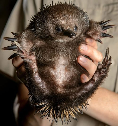 This little echidna is lucky to be alive after being found wandering down the middle of the street in Victoria, Australia. Megan Wilson first spotted the spiky creature and scooped him up and took him to the Healesville Animal Sanctuary.    Picture: Jay Town/Newspix / Rex Features (via Pictures of the day: 4 March 2013 - Telegraph)