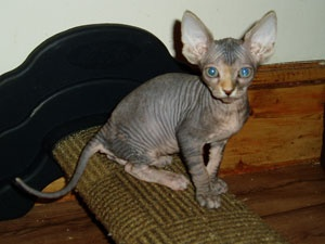 Best Cat Litter For Sphynx