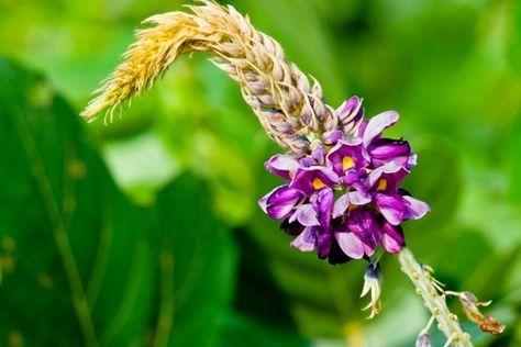 Le KUDZU… La plante miracle anti-alcool, anti-tabac et anti-stress
