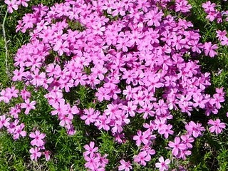 Moss phlox. Great ground cover flower