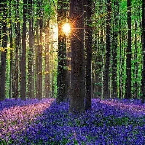 Солнце живописно освещает цветущие синие колокольчики. #Бельгия #Belgium #путешествия #travel #holiday #travelling #sun #amazing #instago #love #instatravel #instalife #tourism #instagood #lovelife #nature #beauty #perfectly #paysage #природа #красота #пейзаж #natura #bellezza #paesaggio #дивно #краса #naturaleza #belleza #paisaj