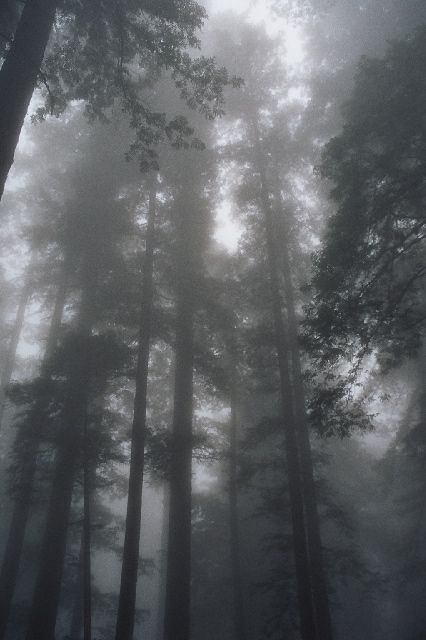 030803a redwoodfog - Sequoia sempervirens - Wikipedia, the free encyclopedia