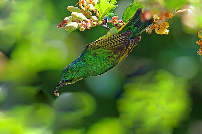 Another collared sunbird, from a different angle this time. The blooming of many flowers around the camp has been providing a bonanza for these birds of late. Photograph by Anthony Goldman